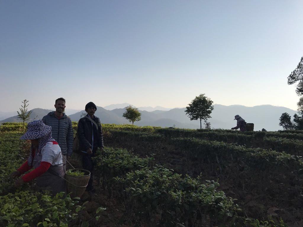 Rishi Tea and Botanicals Mingqian Green Tea Harvest Direct Trade