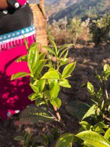 Rishi Tea and Botanicals Garden Direct Yunnan Silver Needles Single Cultivar Da Huang Ya