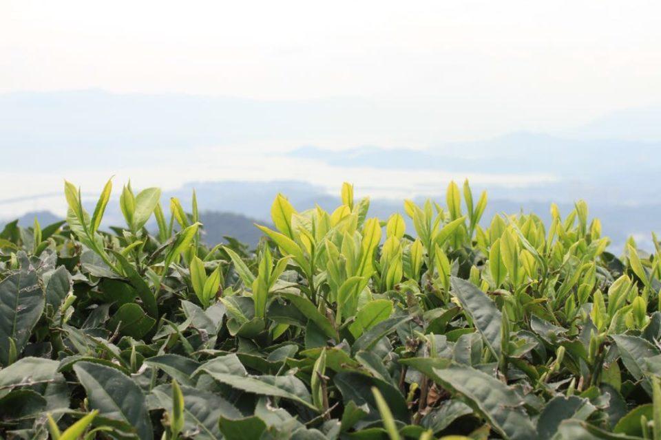Global Tea Harvest Timeline