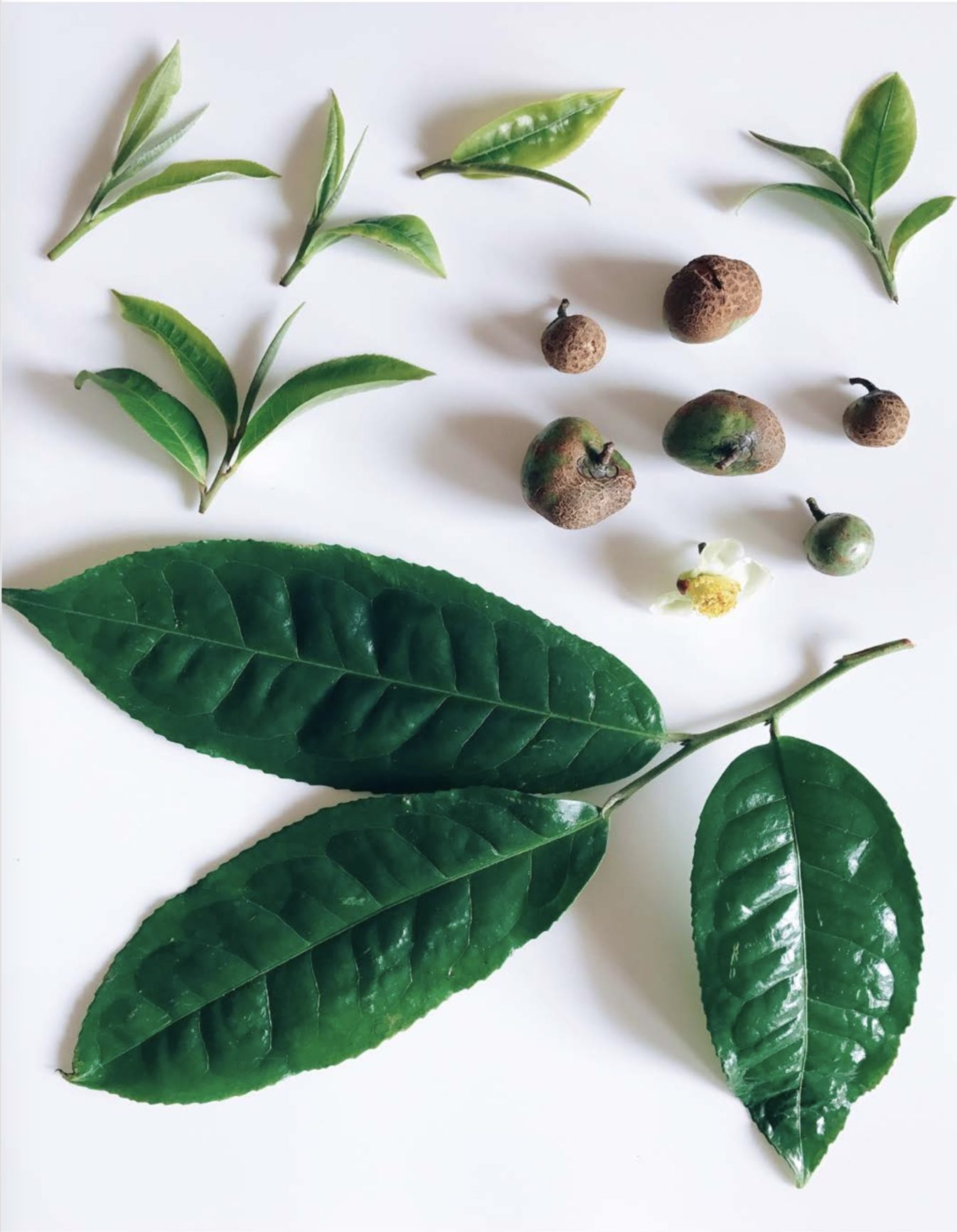 What is Tea? – Origins and Categorization of Camellia Sinensis