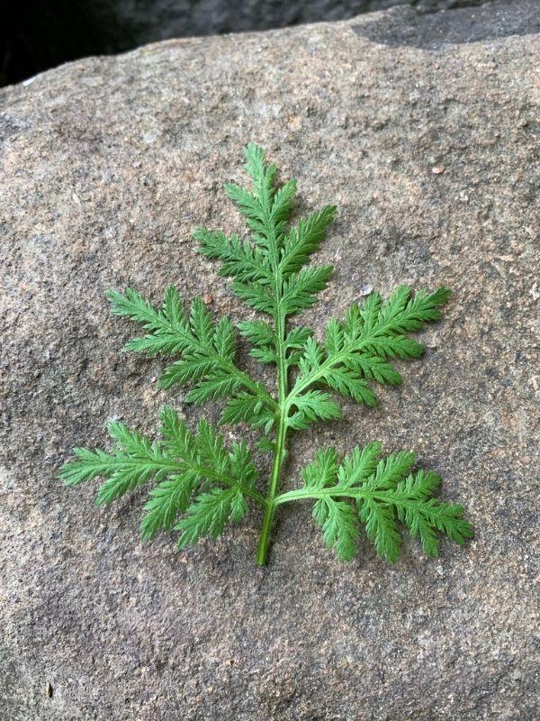 Artemisia-plant