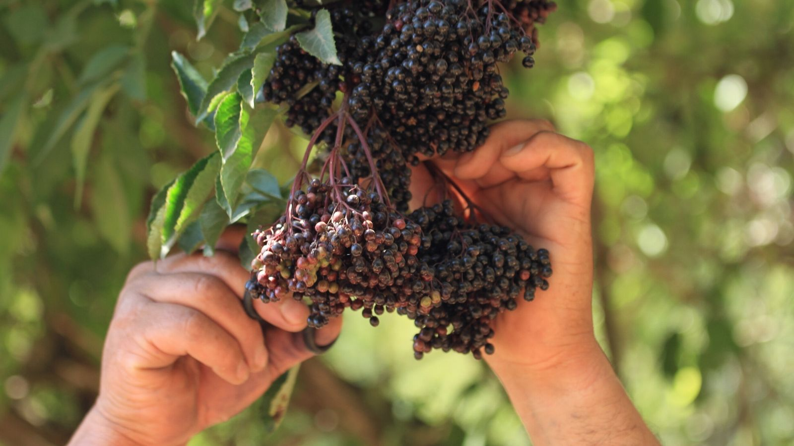 What is Elderberry and What are its Benefits?