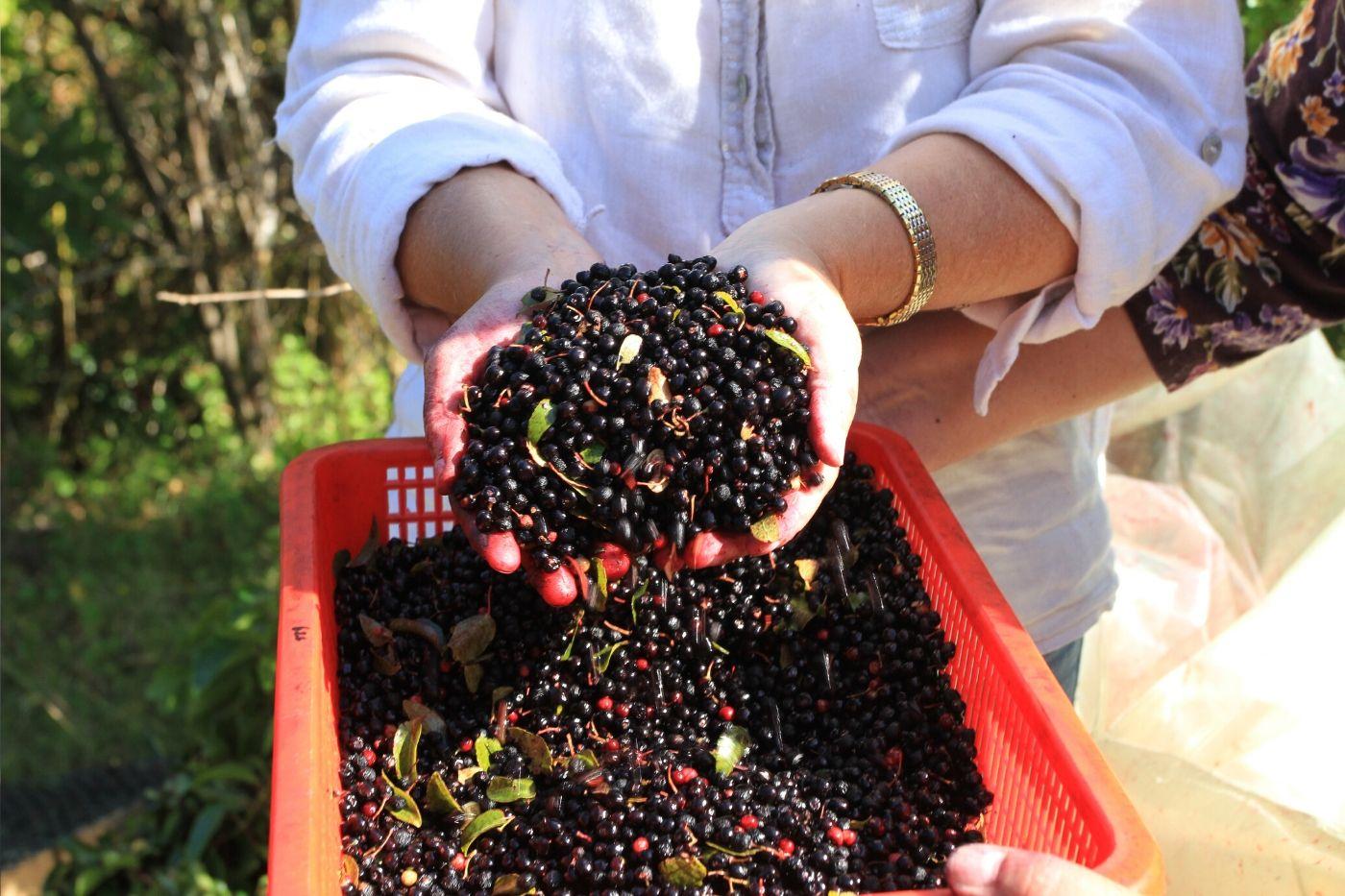 Maqui-Berry-in-Hands
