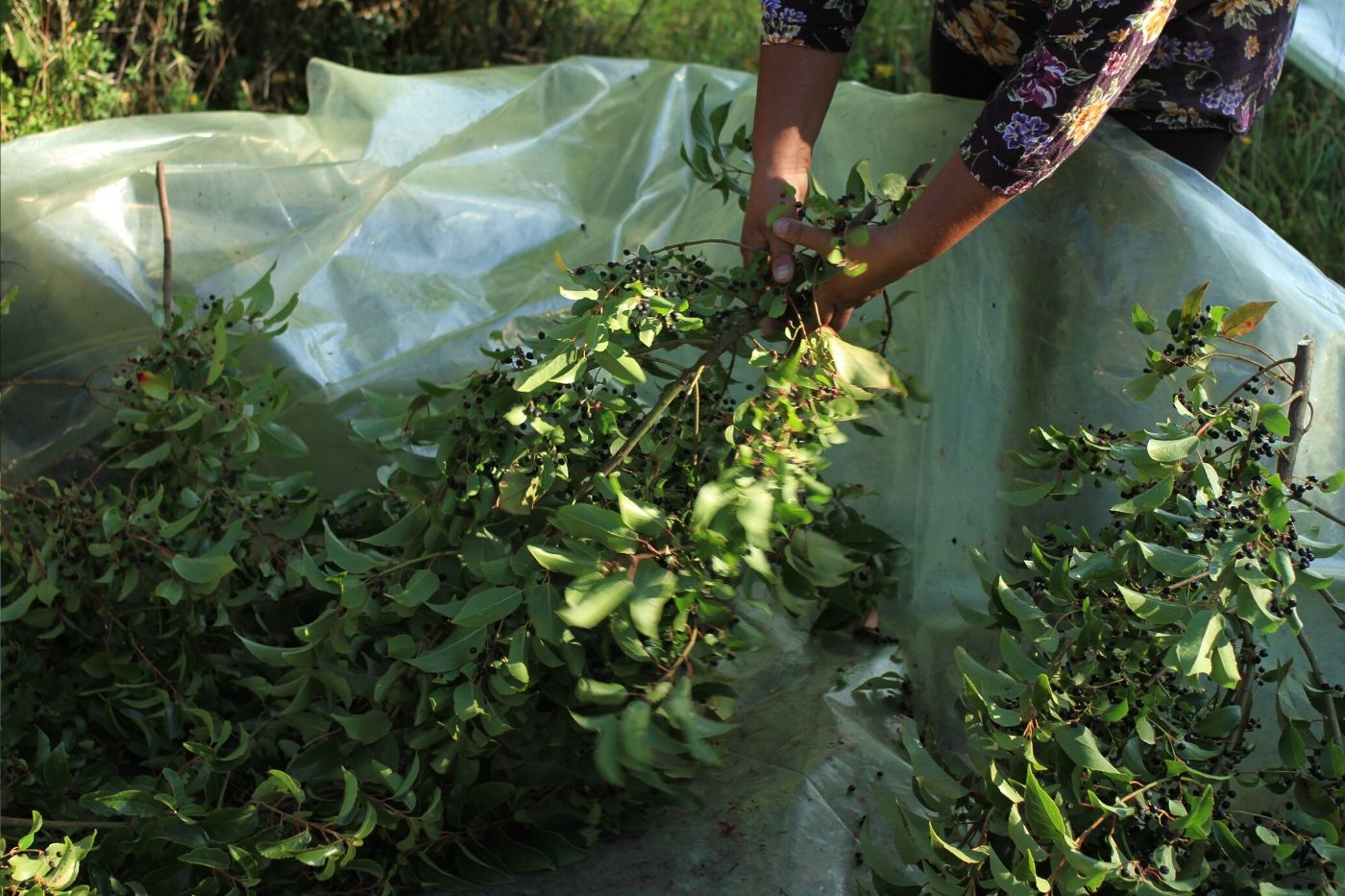 The Wild Maqui And Murta Harvest In Chilean Patagonia Rishi Tea