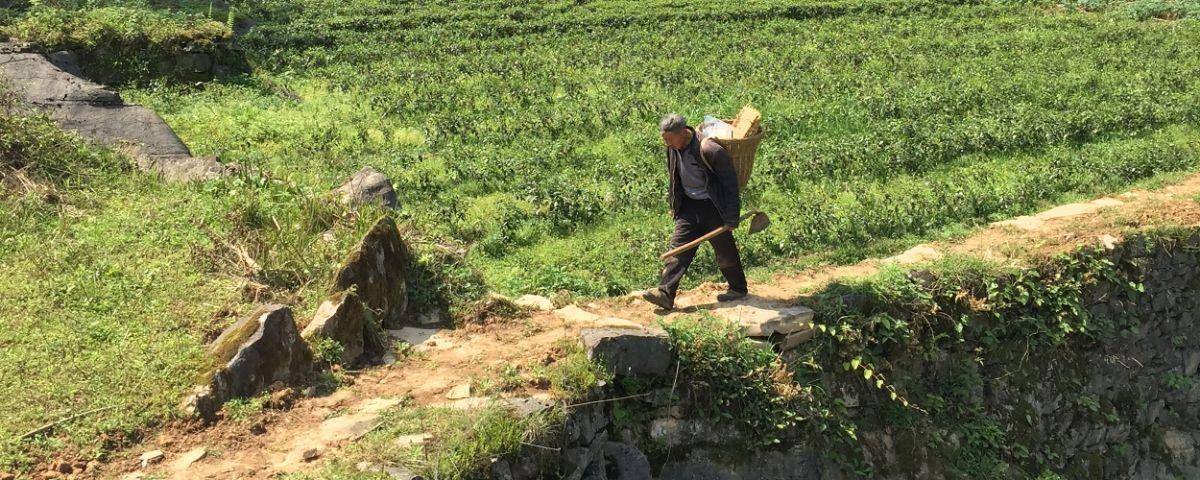 2020 Mingqian Harvest Teas