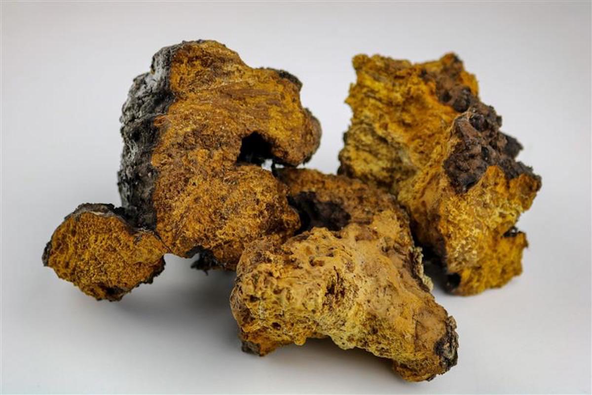 What are Chaga Mushrooms