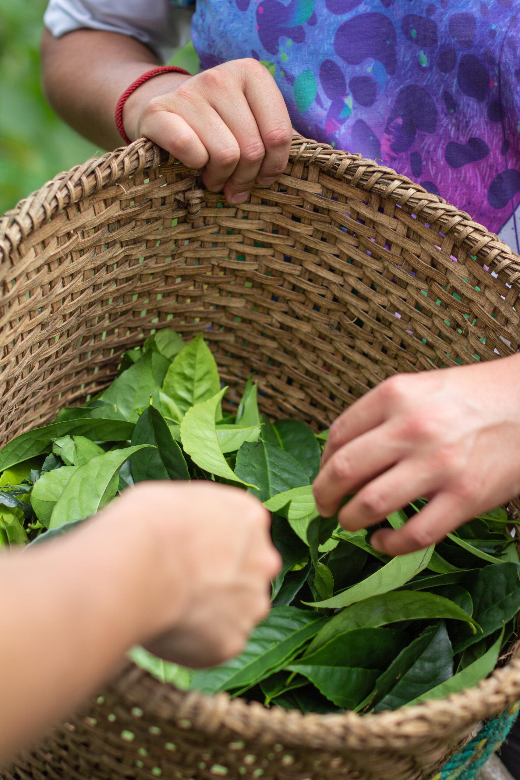 fresh-guayusa-leaves