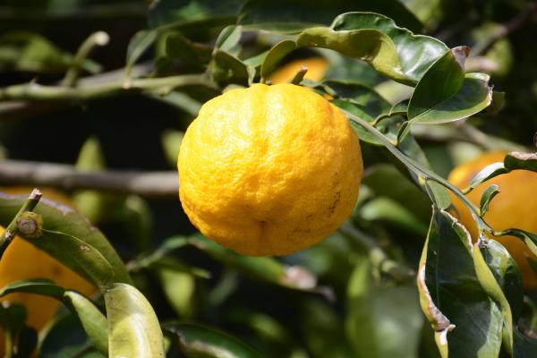 yuzu-fruit-citrus-on-tree-branch