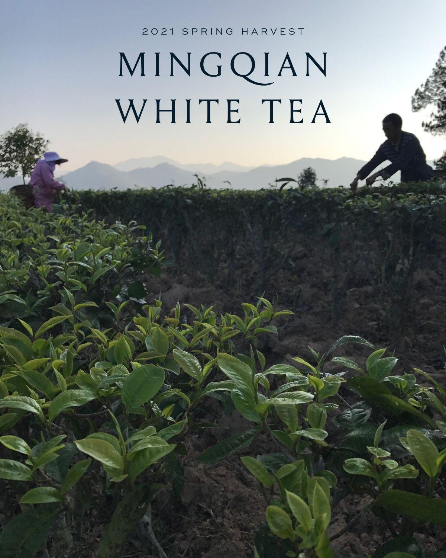 Mingqian White Tea