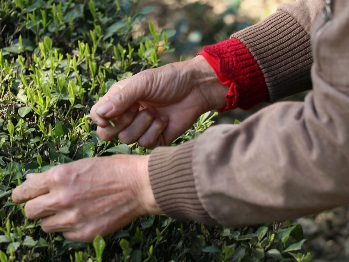 hands picking tea