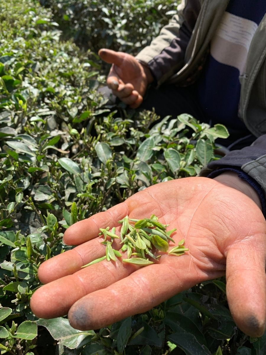 hand with tea leaves