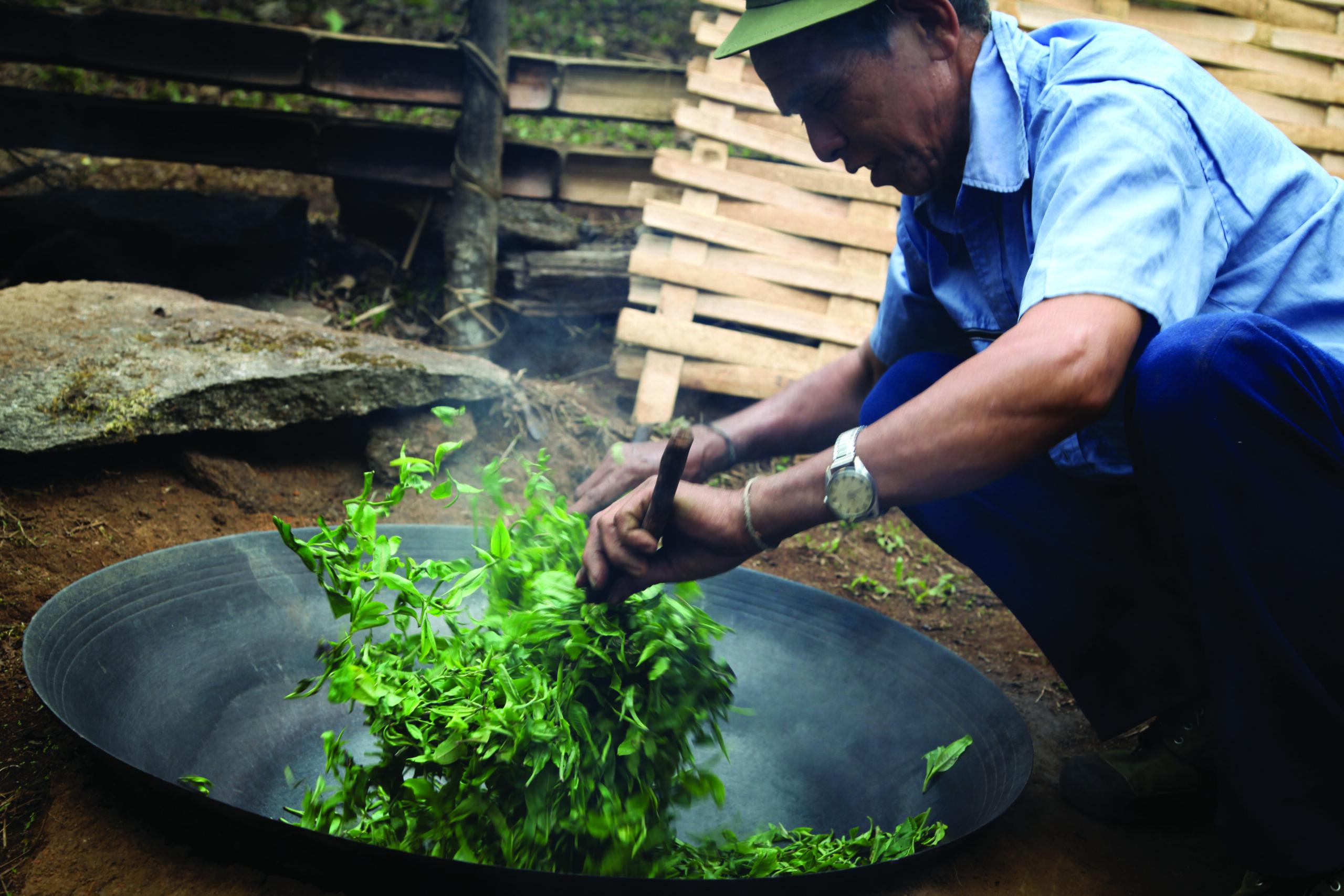 harvesting-tea