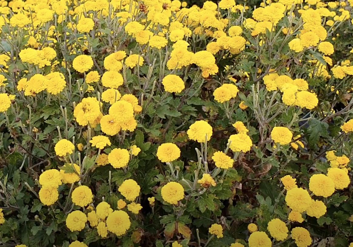 korean-chrysanthemum-harvest-bush