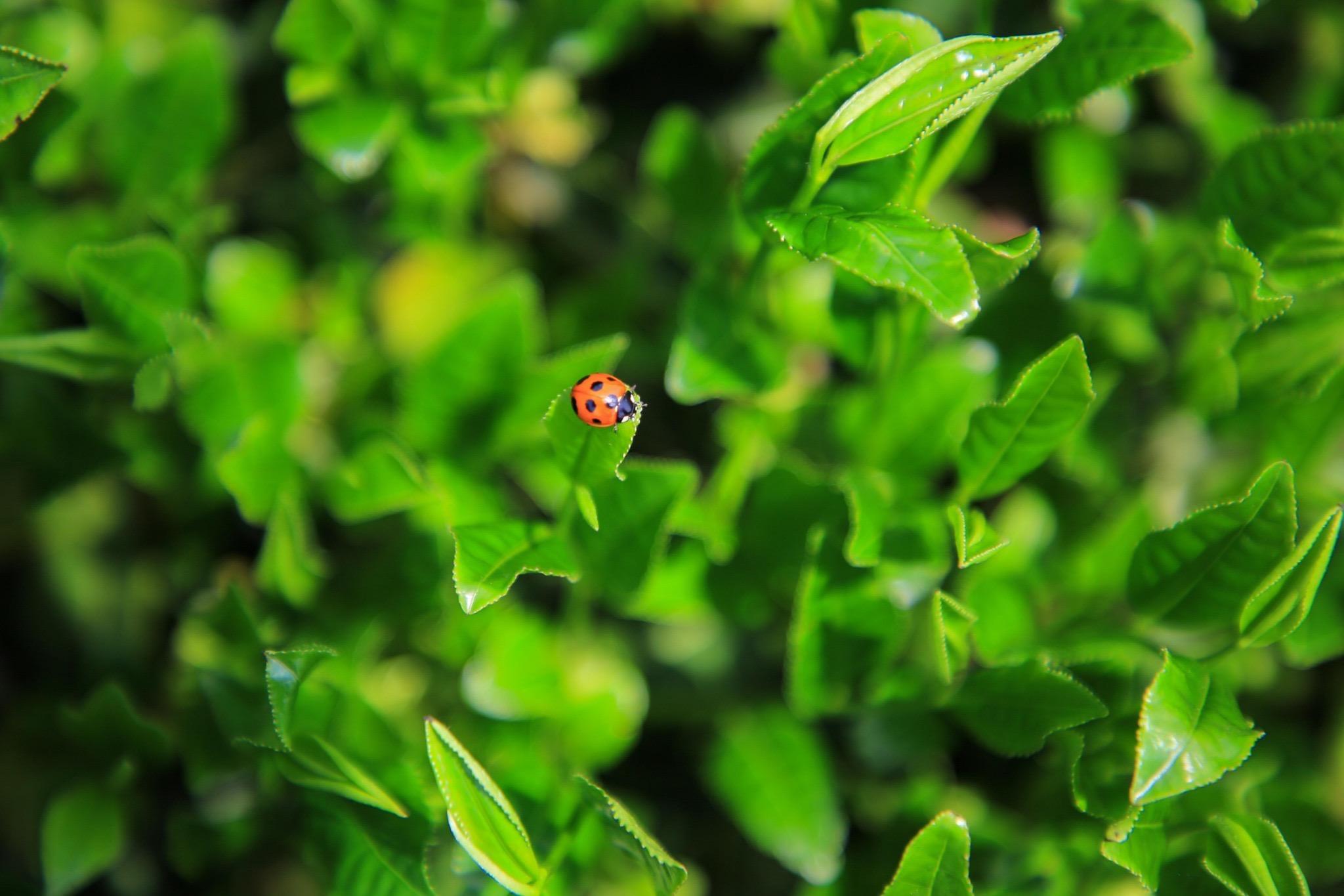 organic-tea-garden