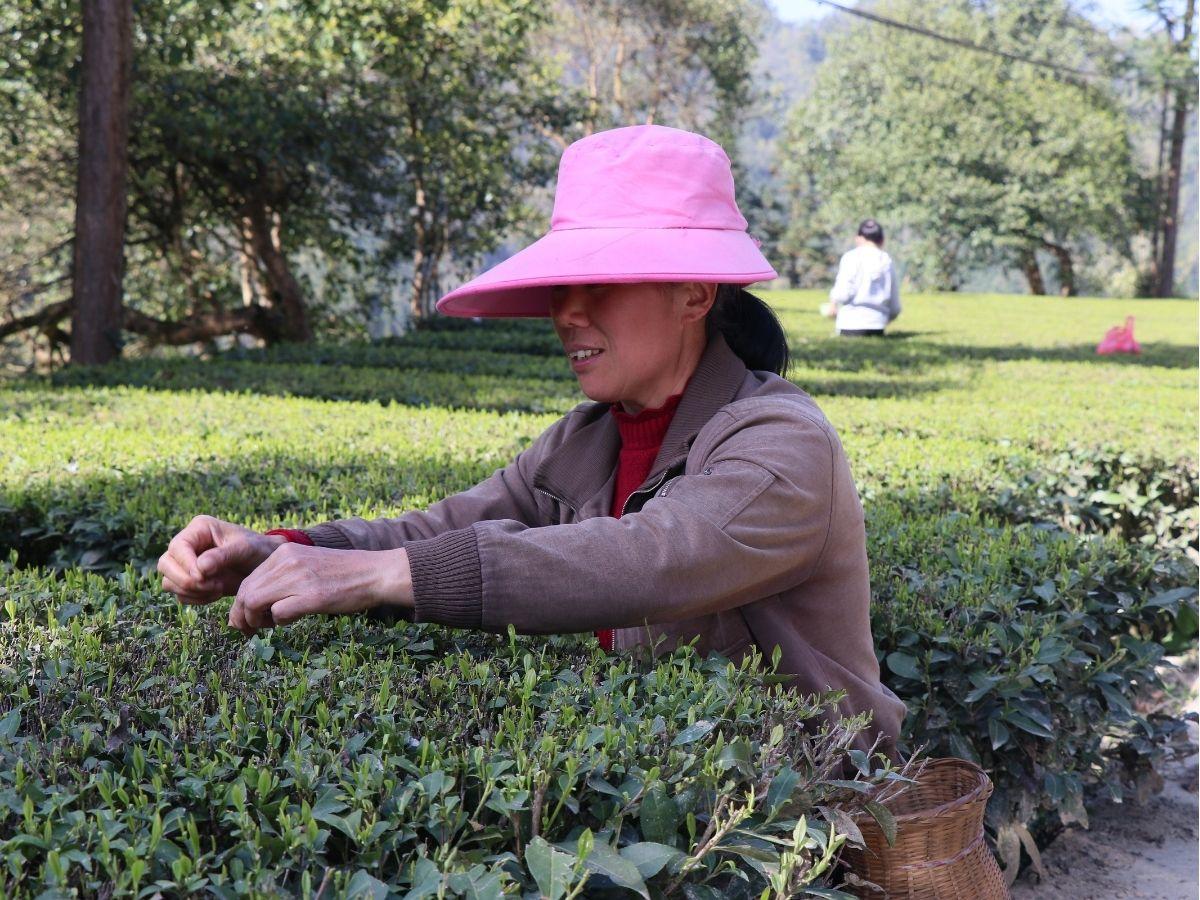 women picking green needles tea