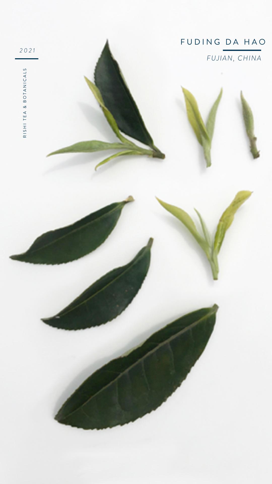 Fuding Da Hao Cultivar Tea Leaf