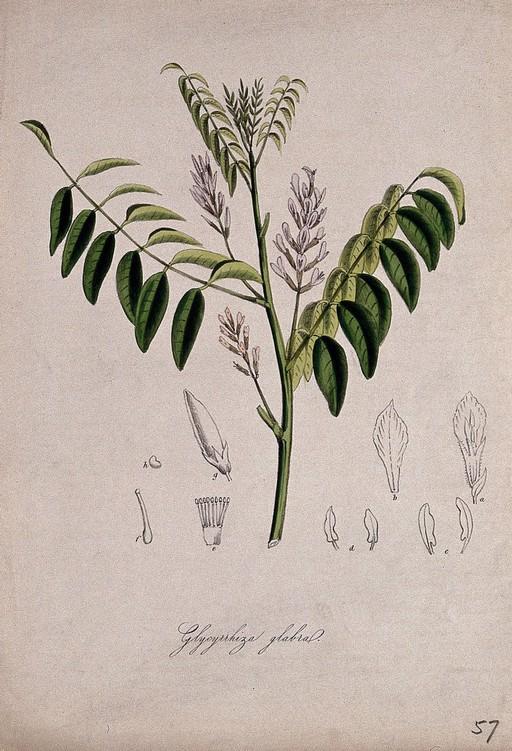 licorice root illustration